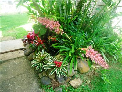 Bromeliad neoregelia sexy pink live plant tropical for Low maintenance tropical plants