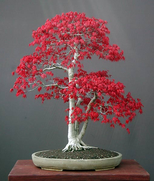 Japanese-Red-Maple-Acer-palmatum-atropurpureum-30-Seeds-Bonsai-or-Feature
