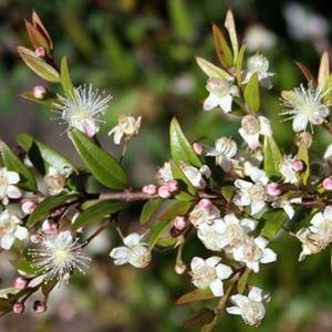 Midgen Berry Austromyrtus Dulcis 25 Bush Tucker Seeds | eBay