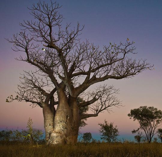 how to grow passionfruit australia