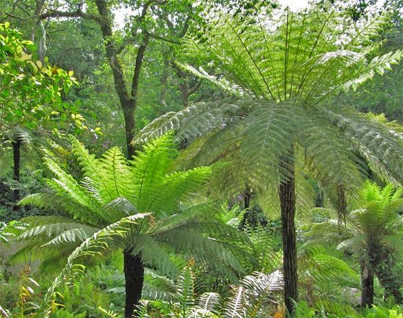 soft tree fern dicksonia antarctica 1000 fresh spore ebay. Black Bedroom Furniture Sets. Home Design Ideas