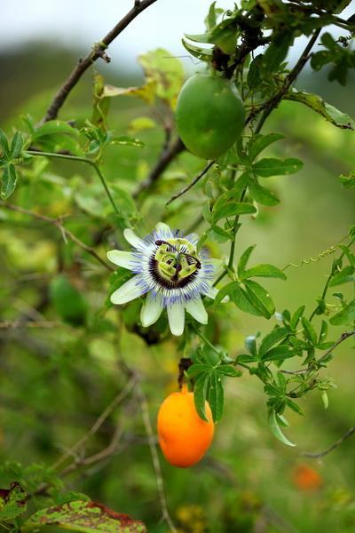 blue crown passionfruit passiflora caerulea 25 seed ebay. Black Bedroom Furniture Sets. Home Design Ideas