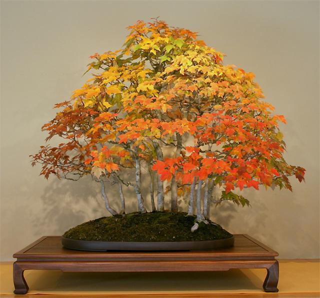 Acer rubrum american red maple seeds bonsai feature ebay - Arce rubrum bonsai ...
