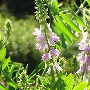 В народе это растение пользуется большой популярностью при лечении диабета - галега действительно снижает содержание...
