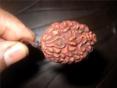 original ek mukhi rudraksha price in india