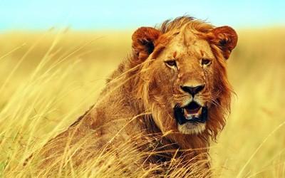 Lion Lion King Laptop Netbook Skin Cover Sticker