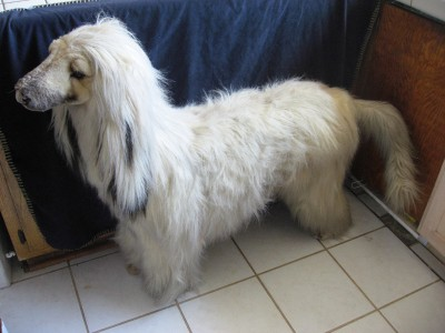 life size afghan hound stuffed dog plush toy from applause possible prototype. Black Bedroom Furniture Sets. Home Design Ideas