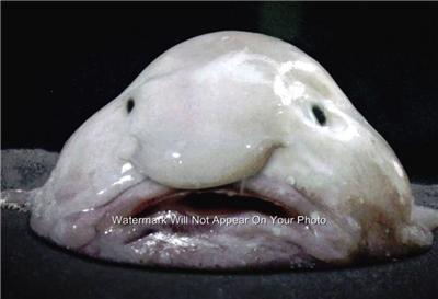 Blobfish worlds ugliest animal strange odd looking weird for Weird looking fish