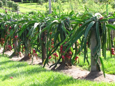 Fruiting Trees Plants Dragon Fruit Tree Potted Live