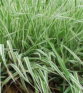 Tall variegated grass hardy perennial established 2 for Hardy perennial ornamental grasses