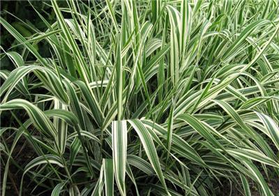 Variegated ribbon grass hardy perennial established 1 for Hardy perennial ornamental grasses