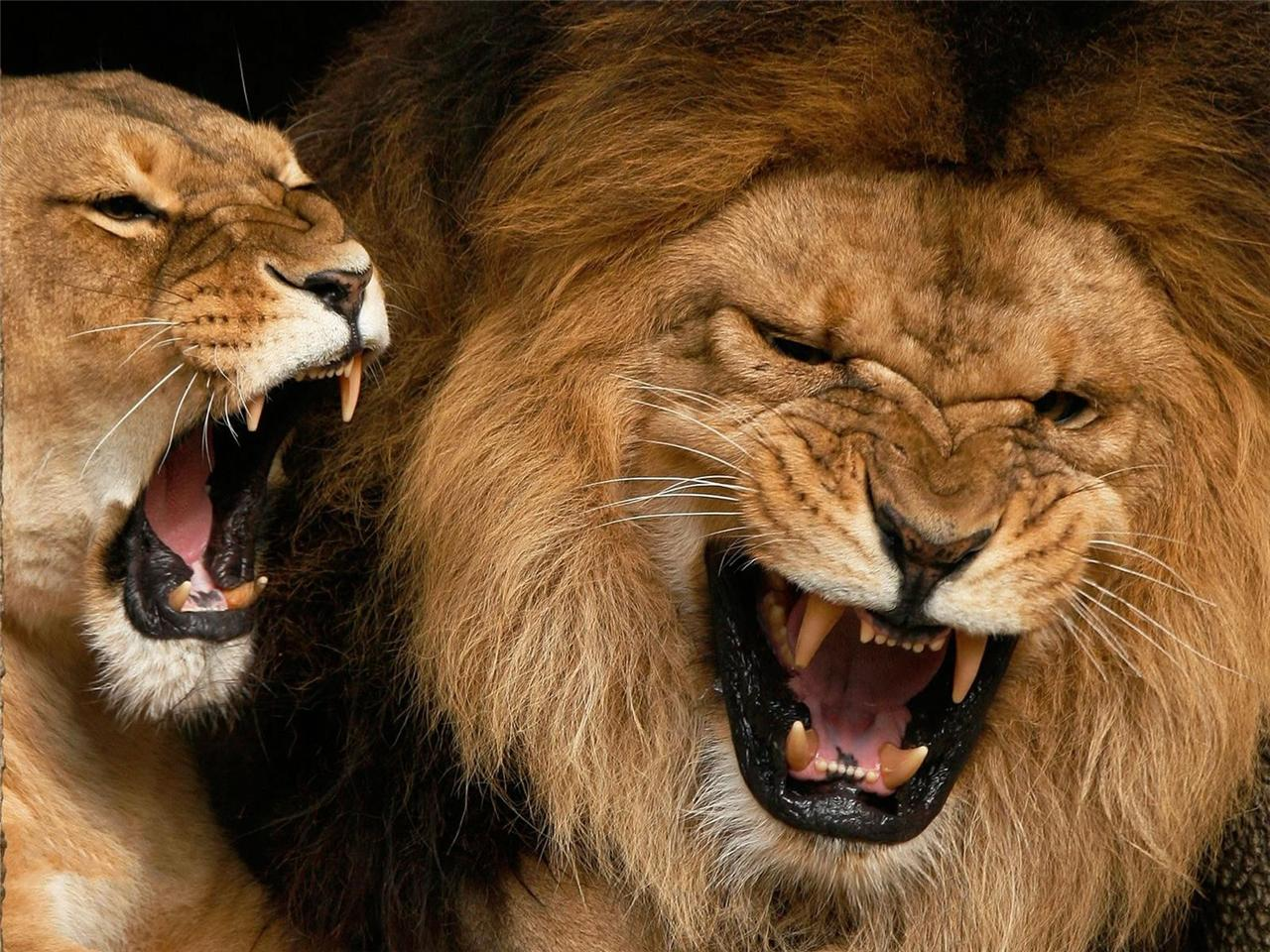 Angry Lions Glossy Poster Picture Photo Lioness King Cat Detroit Growl ...