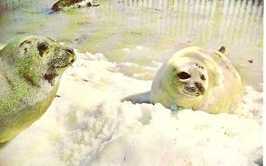 PEI Prince Edward Island ~ Adult Harp Seals in Winter, Wildlife Park, NORTH RUSTICO