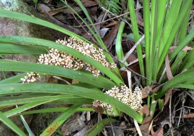 Lomandra Longifolia Spiny Headed Mat Rush Seeds N 259