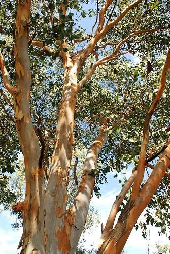 Eucalyptus-Bigalerita-Northern-Salmon-Gum-seeds-E-54