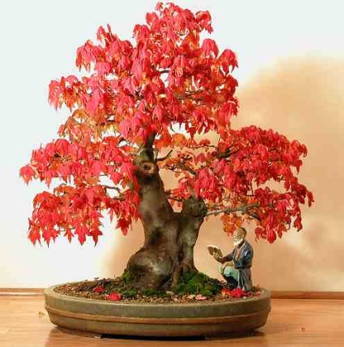 acer rubrum bonsai seeds f 377 ebay