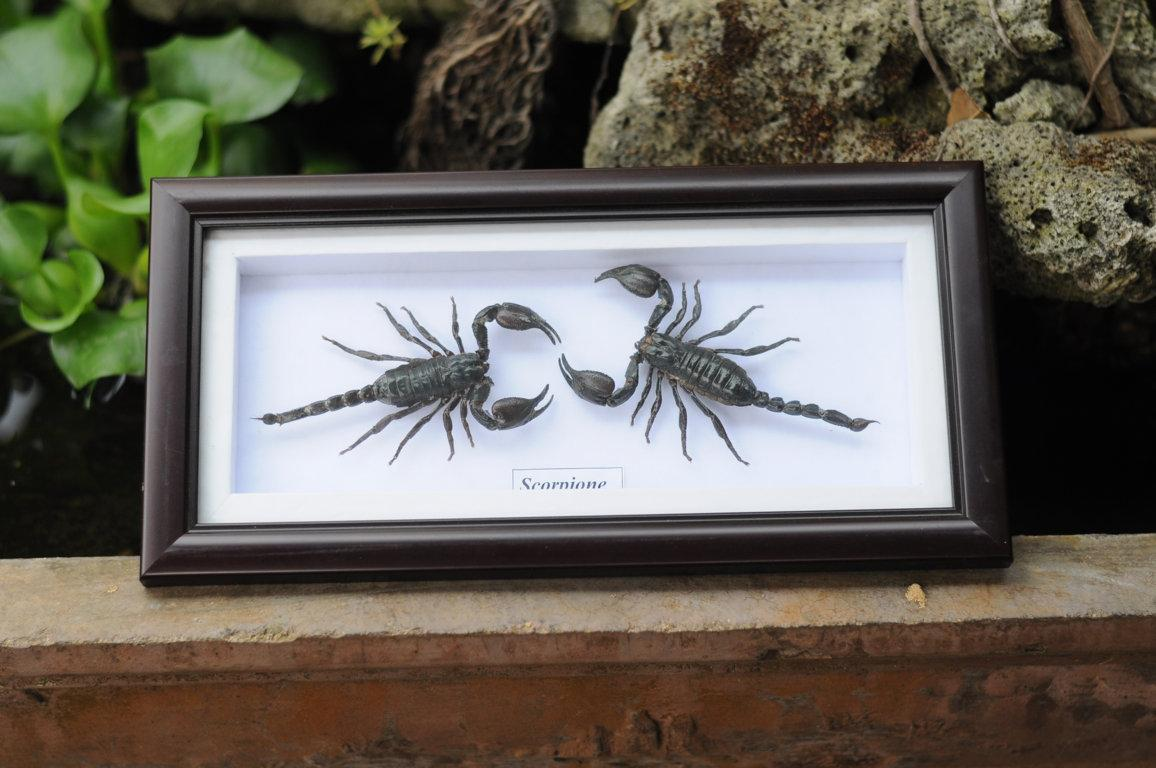 Real 2 Scorpion Garden Plans Display Taxidermy Insect