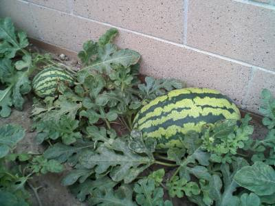 how to grow crimson sweet watermelon from seed