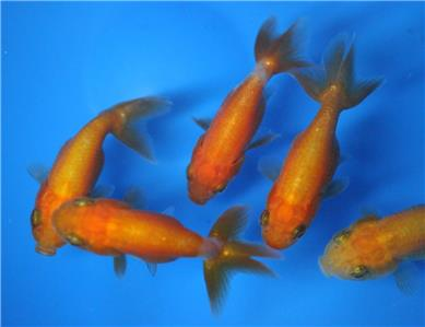 Live red ranchu goldfish sm for fish tank koi pond or for Red koi fish for sale