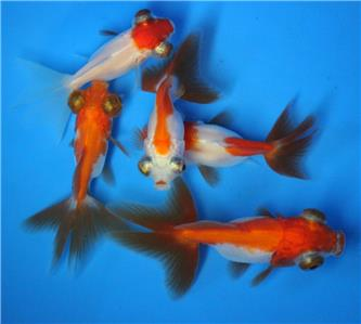 Live red white butterfly tail live goldfish sm fish for Live pond fish for sale