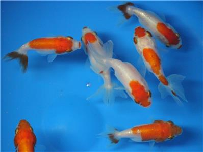 Live red white ranchu goldfish sm for fish tank koi for Koi tank size