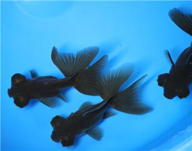 Live black butterfly tail goldfish sm for fish tank koi for Live butterfly koi for sale