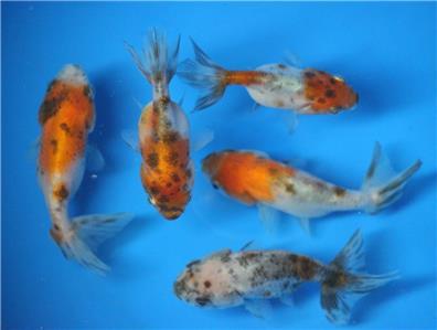Live calico ranchu goldfish sm for fish tank koi pond or for Small koi fish for sale