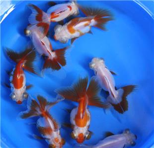 Live red white butterfly tail goldfish med for fish tank for Koi tank size