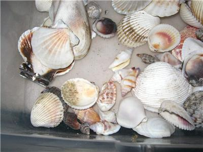 Seashells 14 large mixed lot of different types for Large seashells for crafts