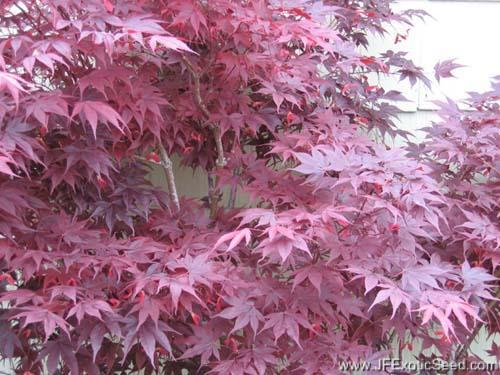 japanese maple bloodgood. japanese maple bloodgood.