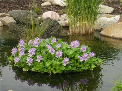 12 water hyacinth floating plant island koi fish for Planter fish pond