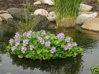 Koi pond plants car interior design for Plants to put in pond