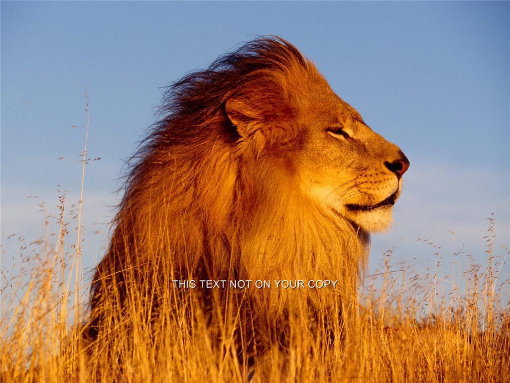 Lion-White-Tiger-Meercat-Monkey-Horses-Chimpanzee-Leopard-Cheetah-Greeting-Card