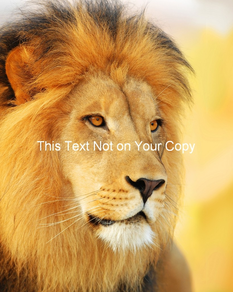 Picture-of-Male-Lion-King-of-Jungle-Large-Print-Photo-Small-Medium-Large-Poster