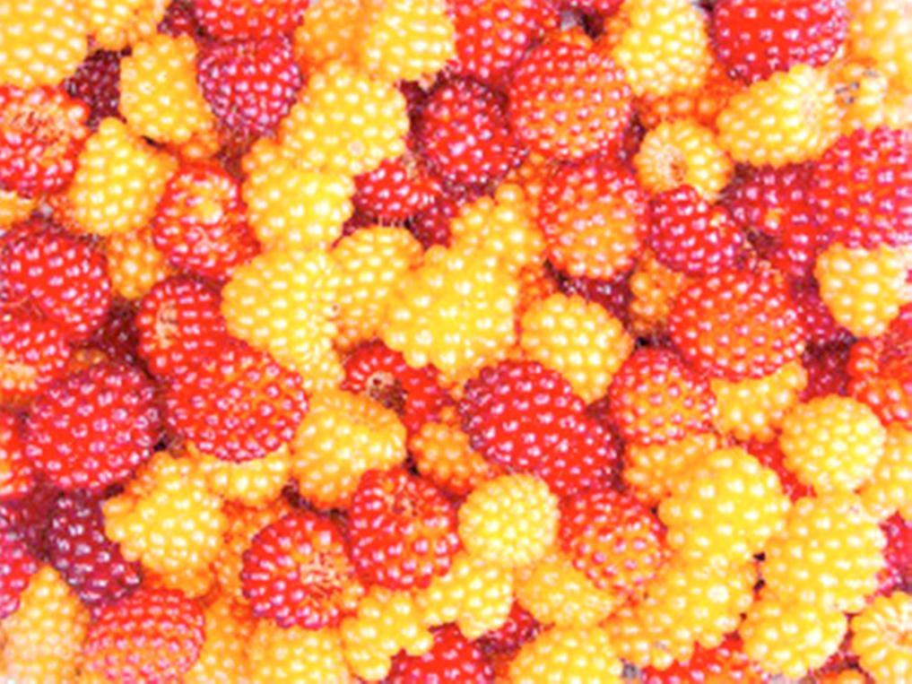 how to start raspberries seeds