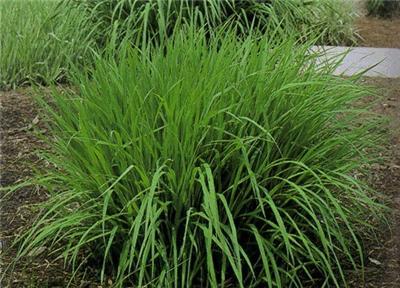 Seeds Big Bluestem Ornamental Grass Perennial Andropogon