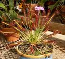Cape-Sundew-Drosera-Capensis-20-Fresh-Seeds