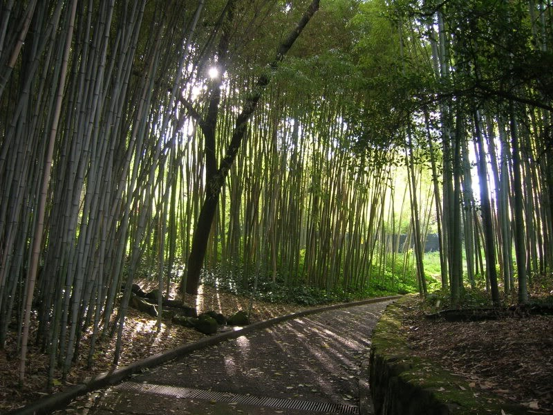 Giant-Bamboo-Bambusa-Arundinacea-100-Seeds