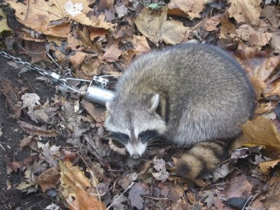 Raccoon trap for deer feeder camp lodge yard whitetail A Cry For Help The Tracey Thurman Story