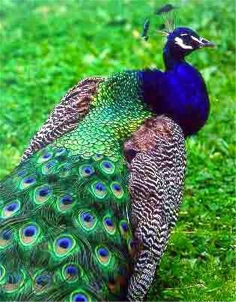 25 green peacock body plumage feathers hand selected ebay - Beautiful peacock feather ...