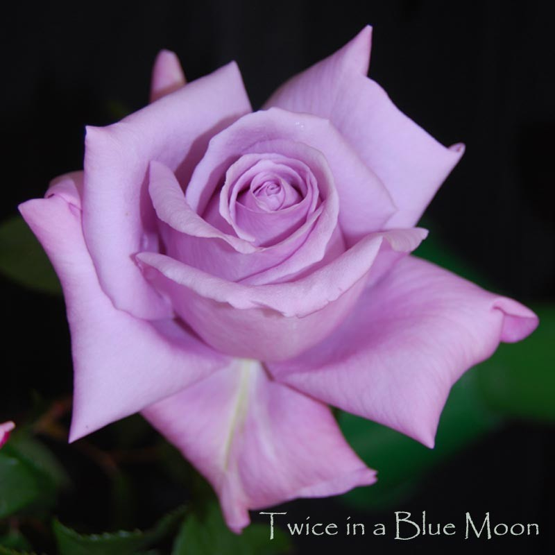 how to grow rose bushes from seeds