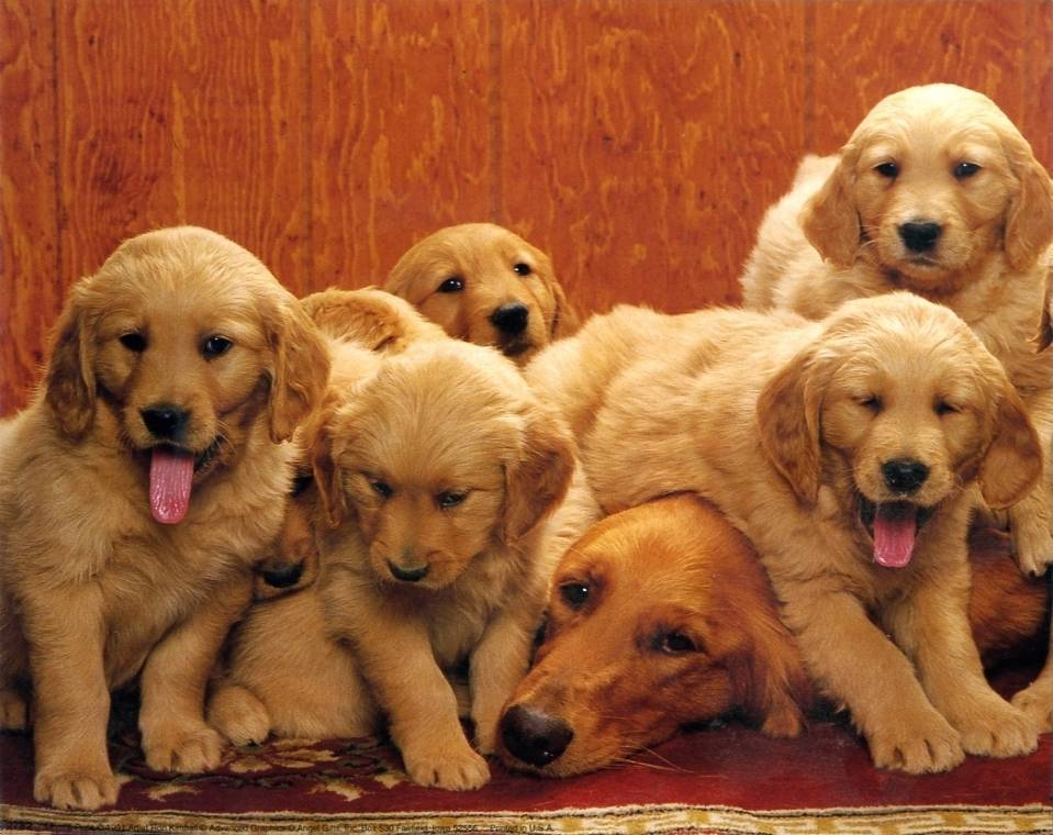 golden retriever mom and puppies cute 10x8 in photo print mini poster ebay. Black Bedroom Furniture Sets. Home Design Ideas