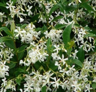 Confederate jasmine vine plants fragrant white starter plant buy one get one ebay - Climbing plants that produce fragrant flowers ...
