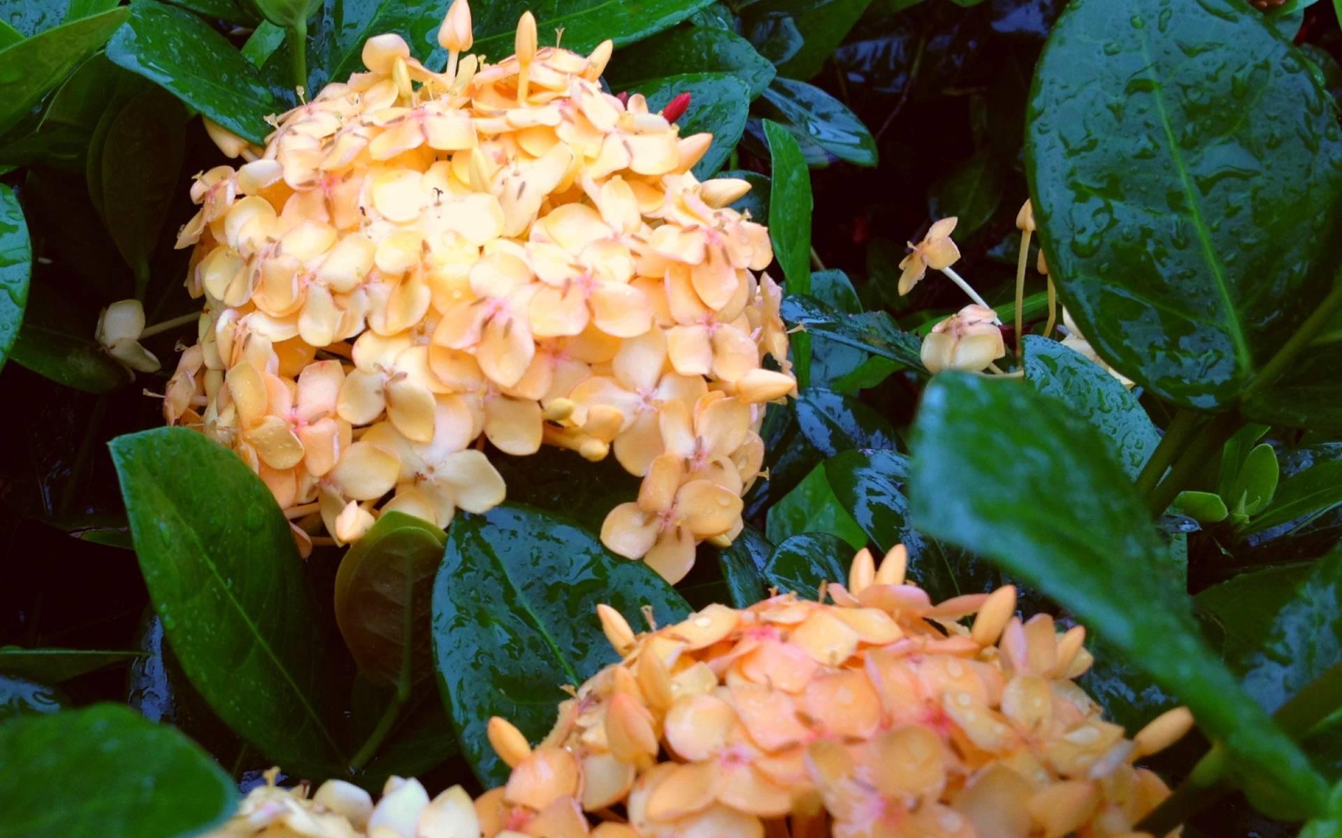 Tropical Ixora Plant 6 Types Red Pink Orange Yellow White Dwarf