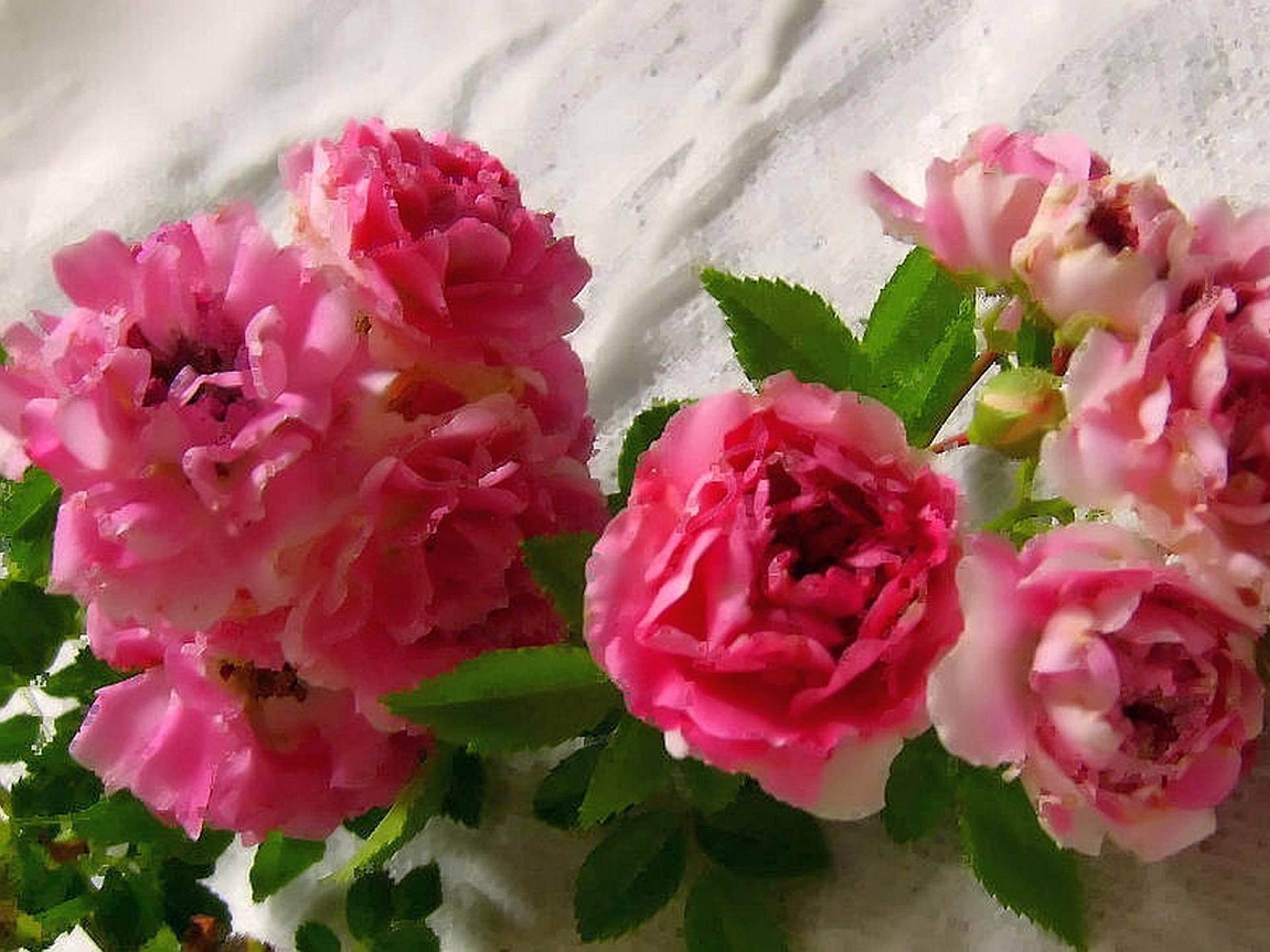 White Garden Rose Bush heirloom rose bush plant choose one 1 from 6 types pink yellow