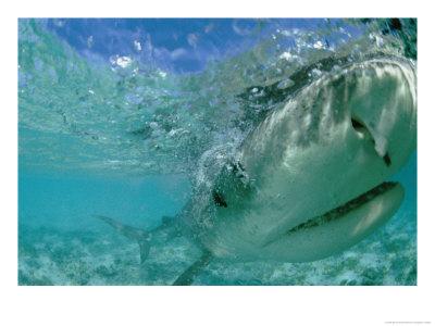 tiger shark tattoo designs. Tiger Shark Tooth Necklace.