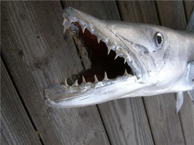 Xxl barracuda fish mount taxidermy replica 49 inch for Barracuda fish for sale