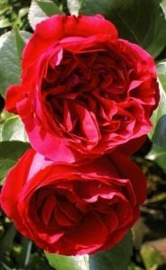 red eden climber rose 39 meidrason 39 own root plant ebay. Black Bedroom Furniture Sets. Home Design Ideas