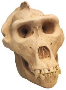Lowland Gorilla Skull Full Scale Model Replica w Stand