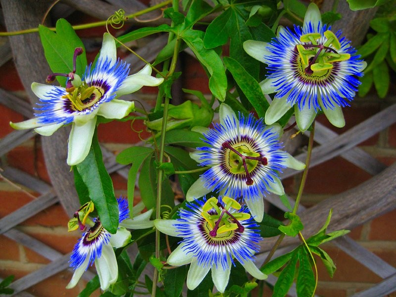 passiflora caerulea easy 10 seeds rare exotic blue. Black Bedroom Furniture Sets. Home Design Ideas